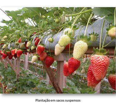 plantacao de morango suspenso