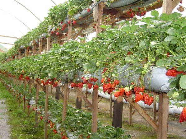 como plantar morango em estaleiro