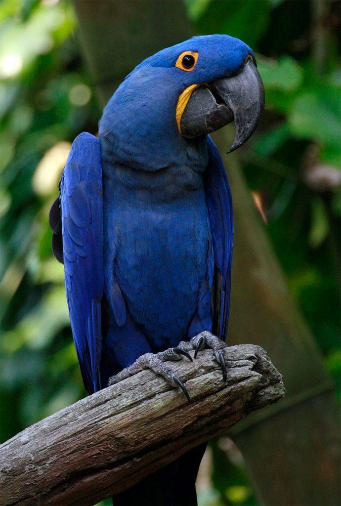 arara azul sentada